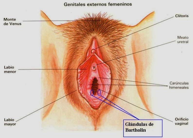 Genitales externos femeninos: la vulva y vagina